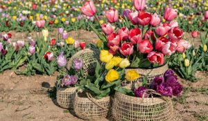 Distesa Di Tulipani Flover