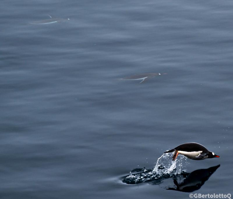 meteorología y fotografía se unen - En El Mar De La Antartica, uno de los tres pinguinos salta y su reflejo se ve en el agua.