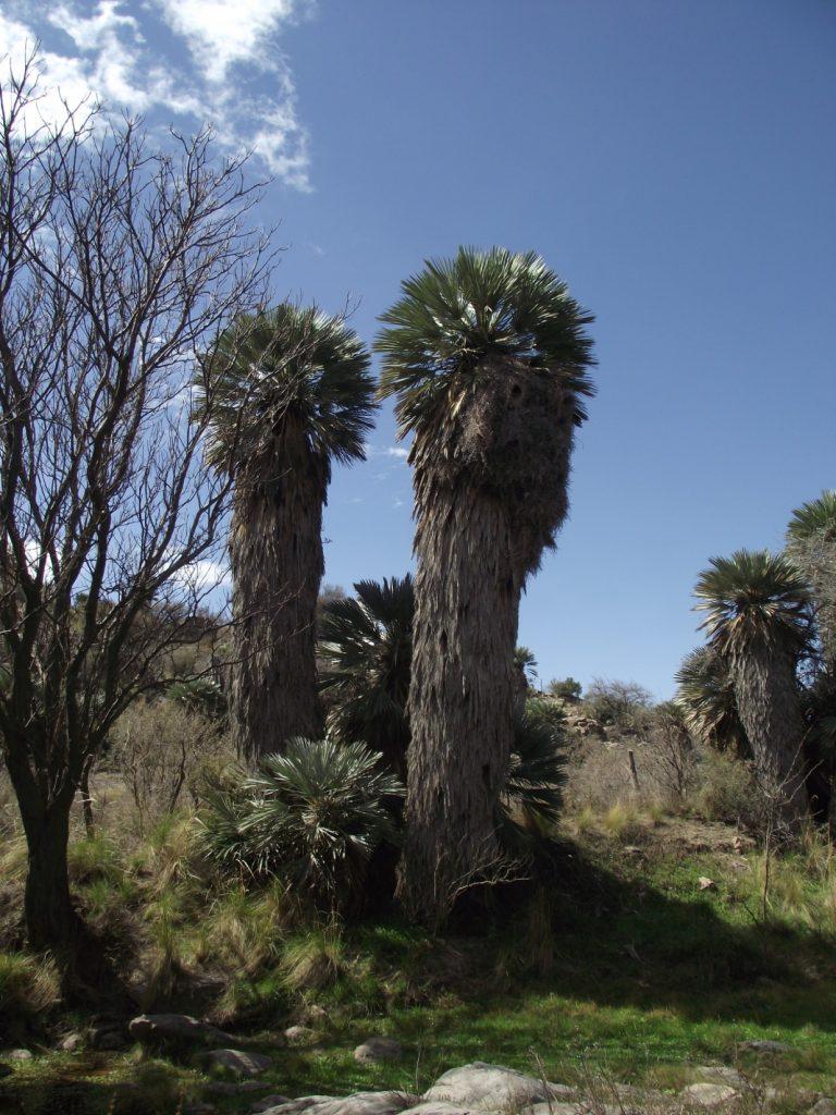 pocho - palmeras