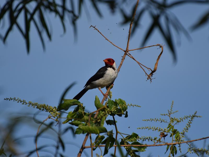 aves - Cardenilla Laguna