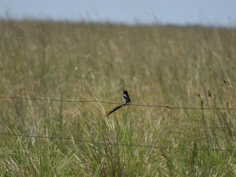 aves - Yatepa De Collar Macho Laguna