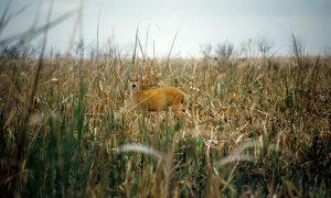 ciervo de los pantanos- en el campo