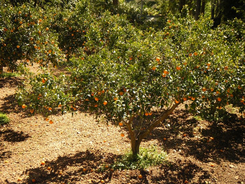 Albero di mandarino