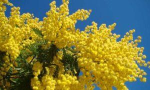 Mimosa Copertina