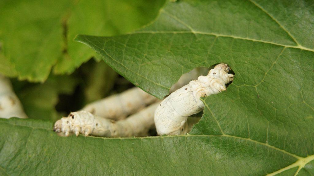 baco da seta, foglie di gelso