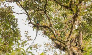 Biotopo del quetza - El Quetzal En Su Habitad Natural