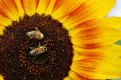 Le api, insetti indispensabili per la nostra sopravvivenza, a Mantova sono di casa