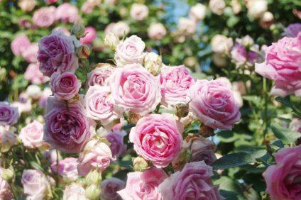 Le rose: da fiori a simbolo del ritorno alla vita