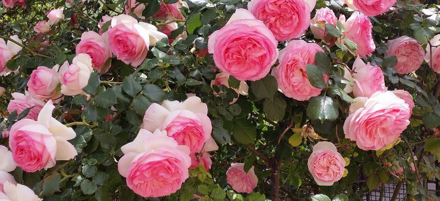 Le rose: forme angeliche visibili