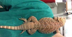 iguana con la veterinaria