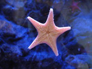 oltremare - stella marina