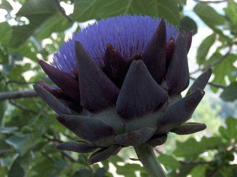 Niscemi- fiore