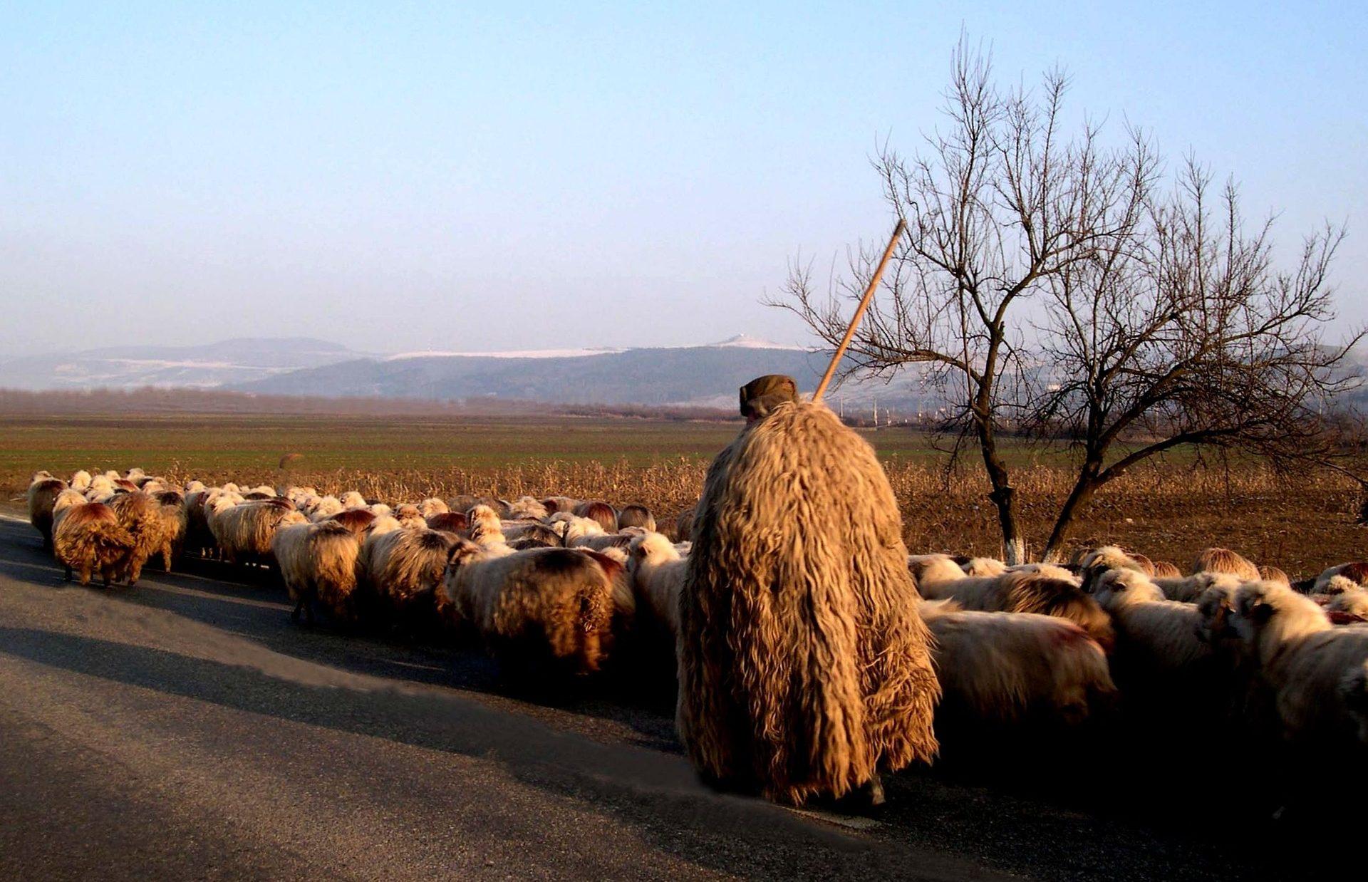 Giorni della merla - pastore con gregge