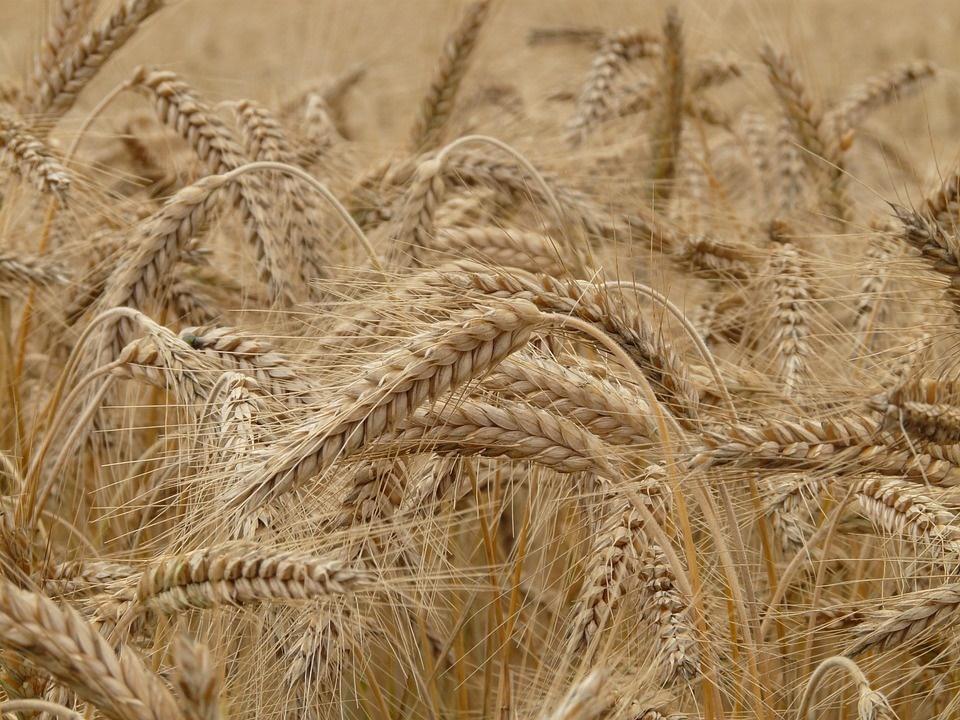 saiwa svolta italiana - foto di un campo di grano