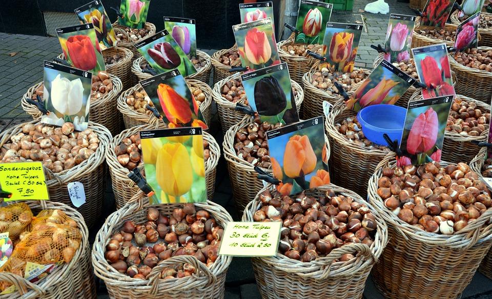tulipark - image of tulip bulbs