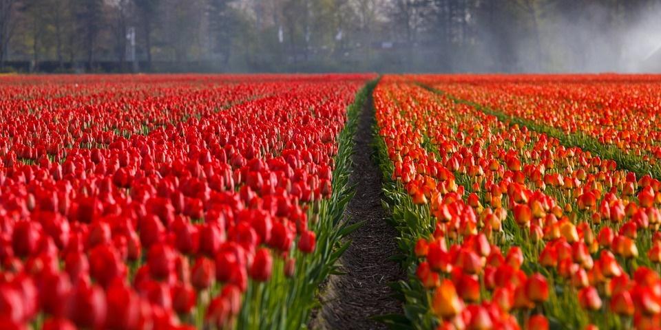 tulipark - foto di campo coltivato a tulipani