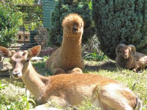 Il Giardino Segreto di Airola ospita anche l'alpaca nano