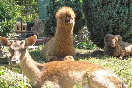 The Secret Garden of Airola also hosts the dwarf alpaca