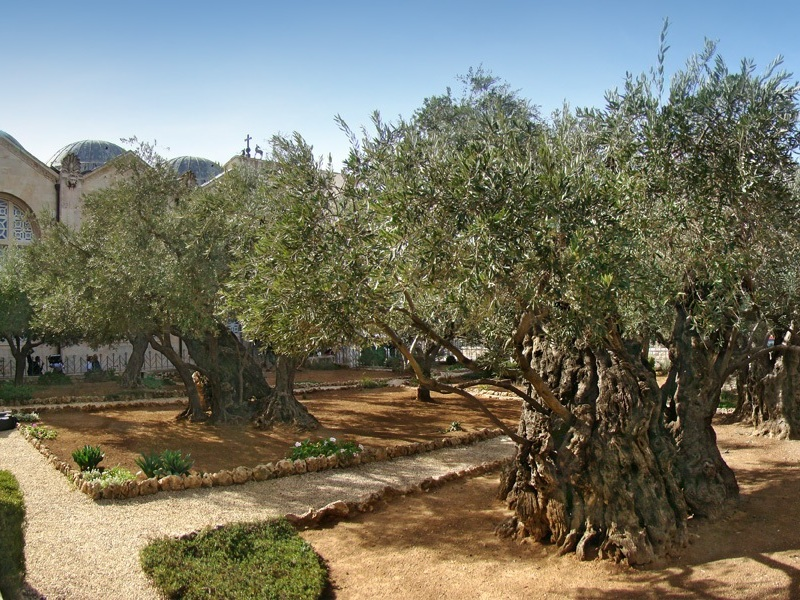 the olive trees of Jerusalem in third place