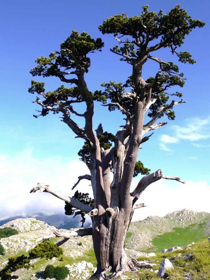 albero più vecchio, il pino del Pollino