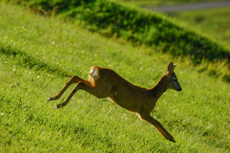 Val gardena -roe deer jumping