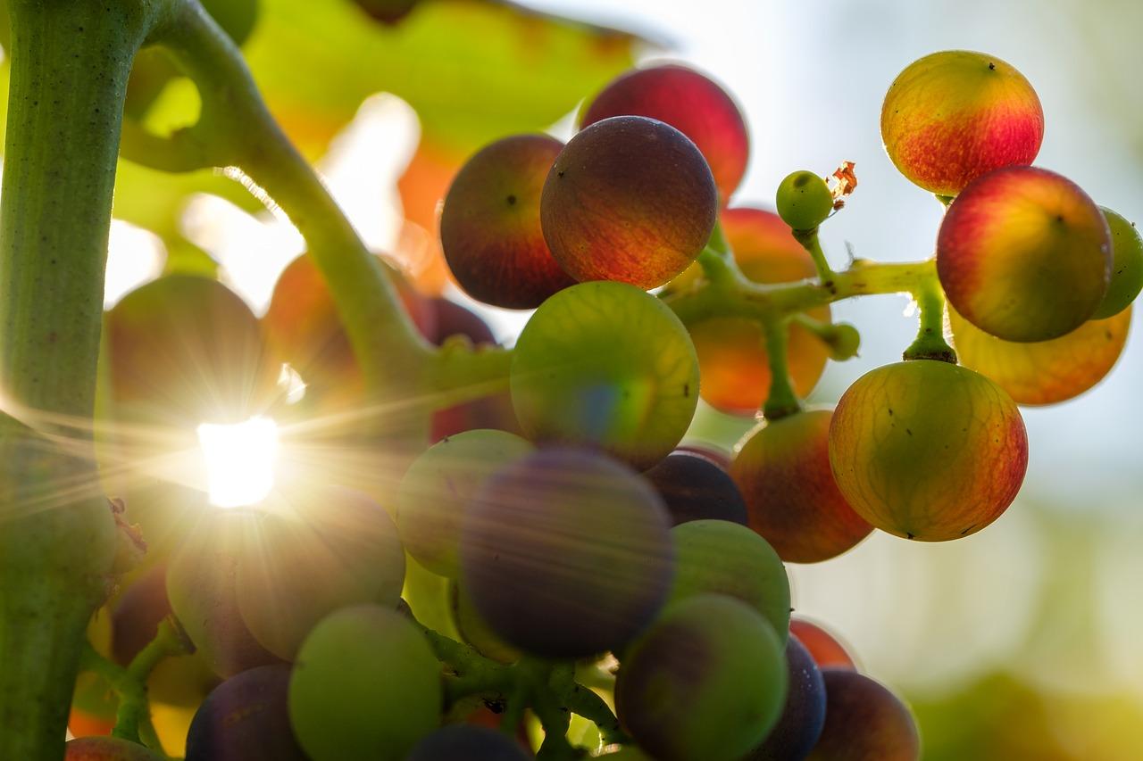 Grape sugar. Grape grapes crossed by a ray of sunshine