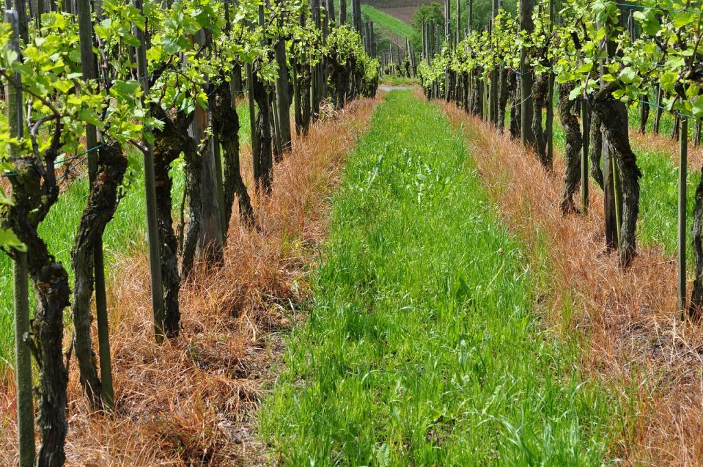 Grape sugar. A vineyard with the green colors of the ripening fruit