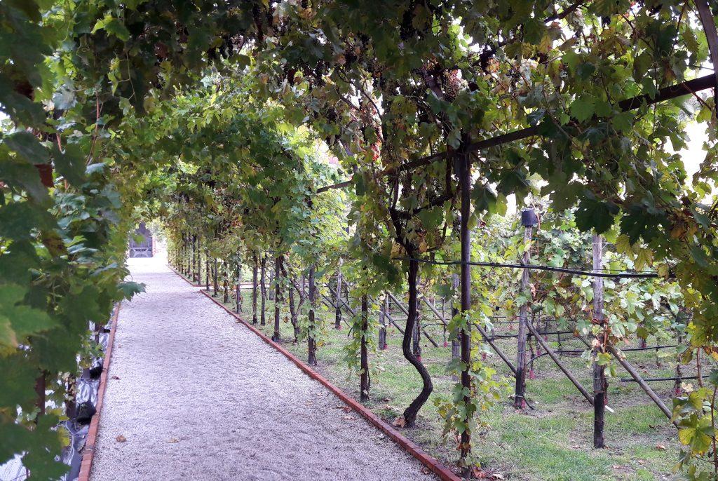 viale con vite e grappoli d'uva nel giardino dei carmelitani scalzi