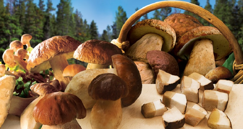 basket with porcini mushrooms that can be picked in the woods