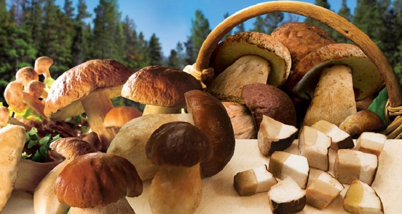 I funghi porcini che si possono raccogliere nei boschi