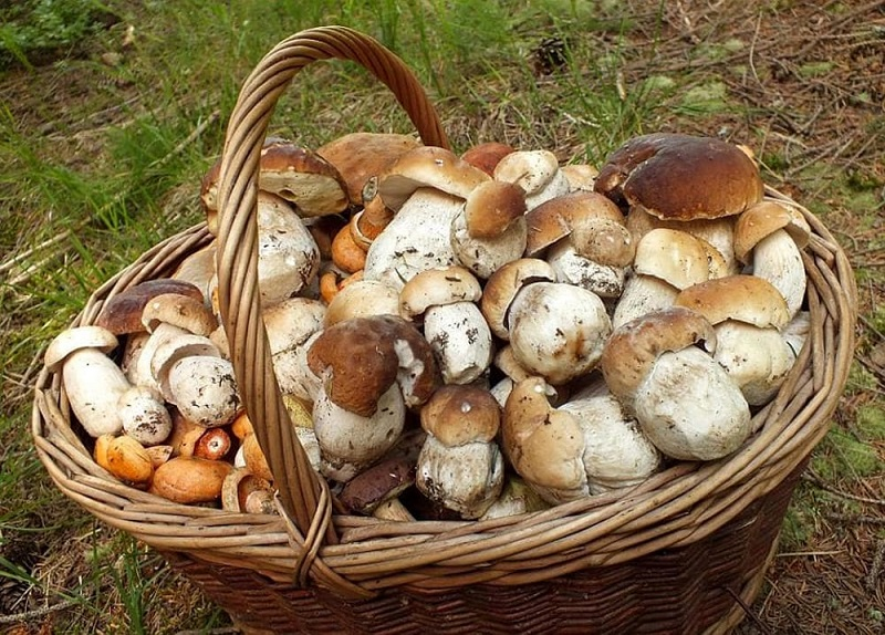 Porcini mushrooms collected in special baskets