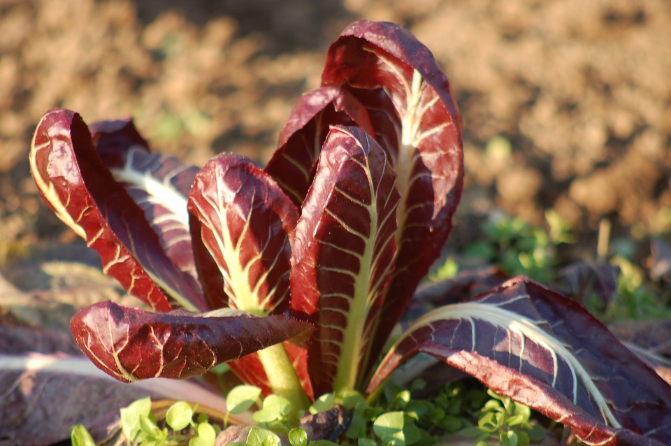 roots and fasioi -tuft of radicchio sticking out of the earth