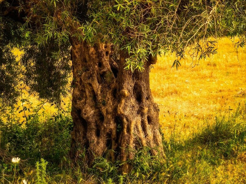 Albero su territorio griko
