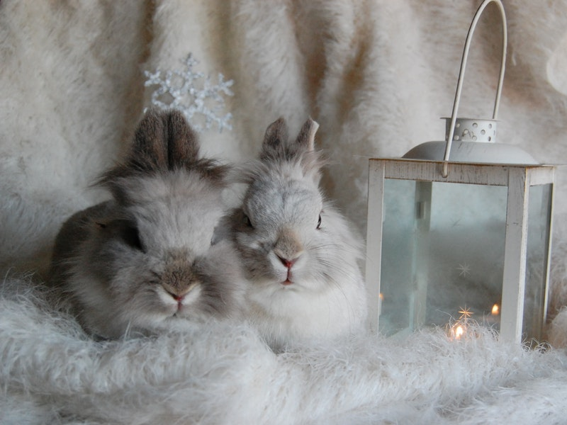 Luisa Spagnoli receives a pair of angora rabbits as a gift