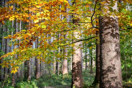 oldest beeches in Europe - beech forest with green and yellow leaves