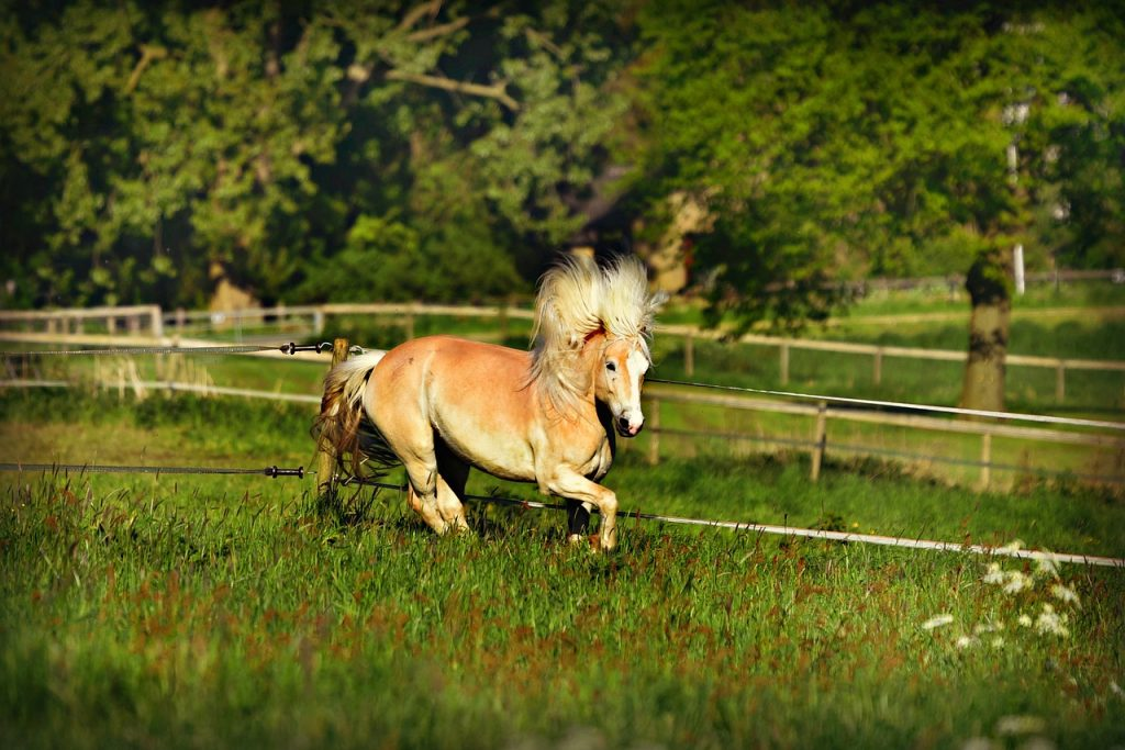 Avelengo. Haflinger horses with a typical golden coat and powerful body