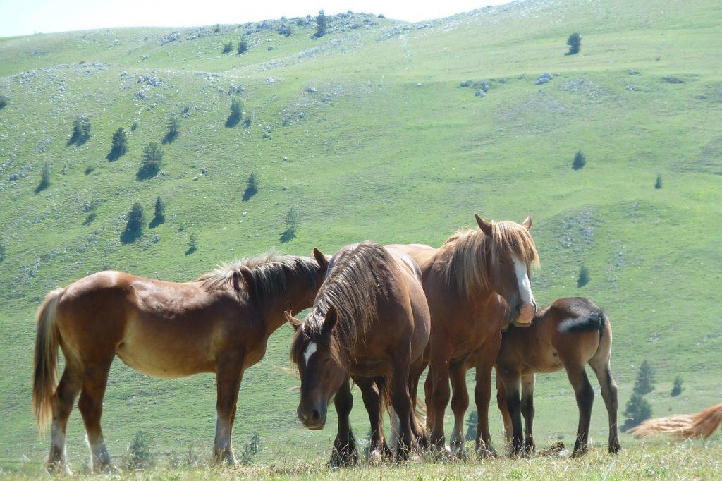 Mandria di cavalli al pascolo sui prati di Campo Imperatore, Abruzzo