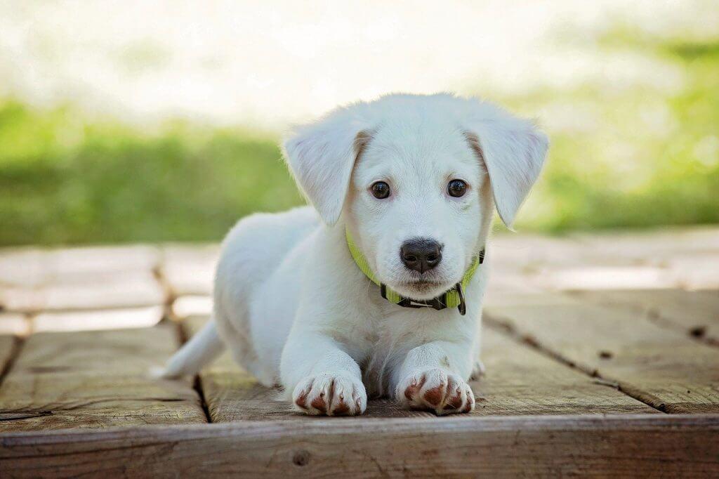 un cagnolino bianco accucciato