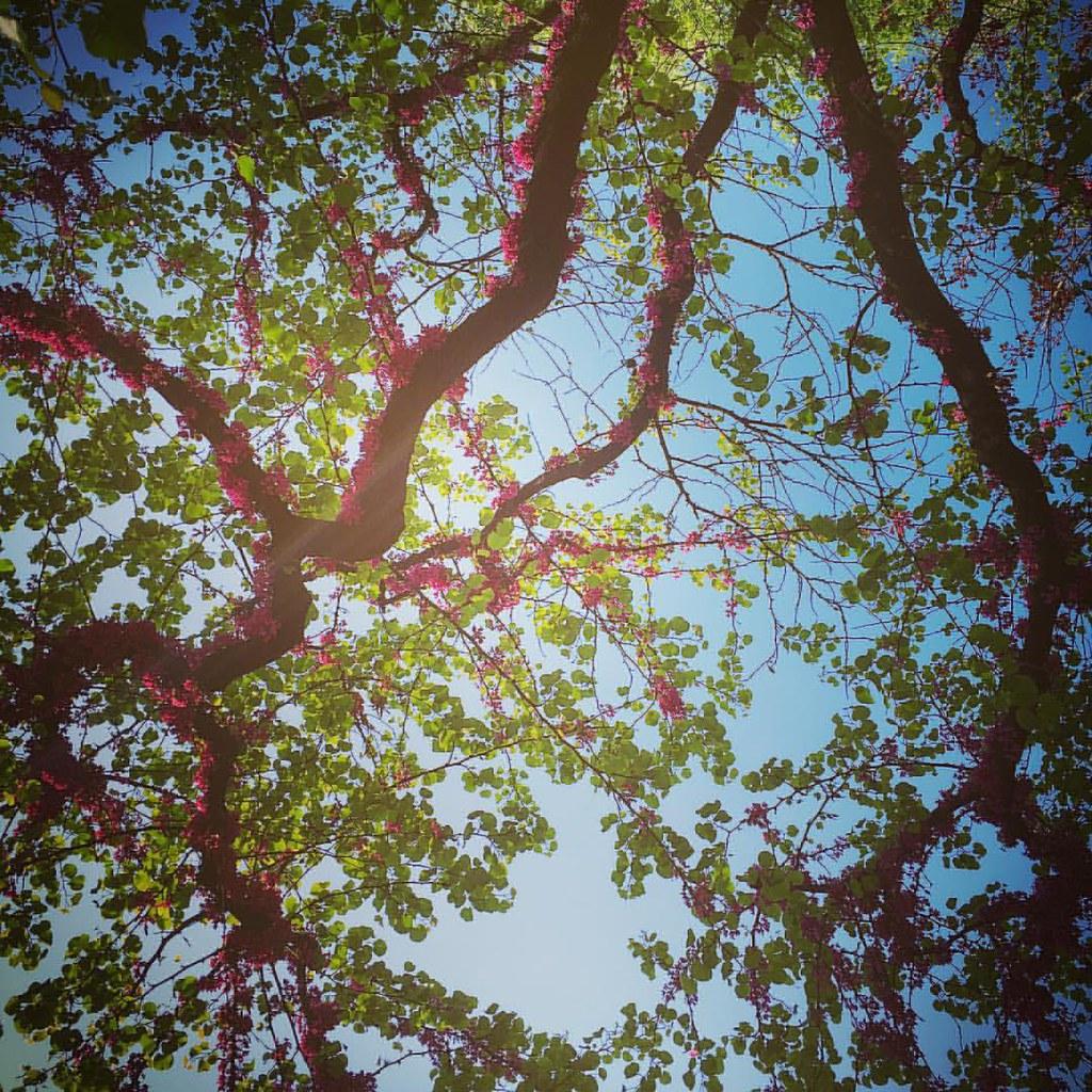 rinascita - rami di un albero con fiori rosa appena sbocciati - rebirth tree branches with newly blossomed pink flowers