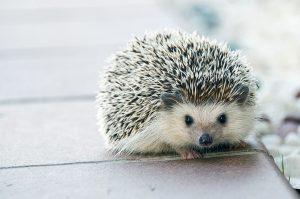 saluto del porcospino - un porcospino