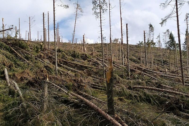 Gli abeti abbattuti dalla tempesta Vaia - Jesolo beach will be equipped with fir trees cut down by the Vaia storm