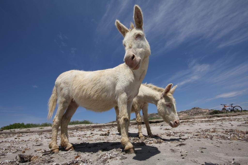 Asinara - Asinelli del Parco Donkeys of the Park