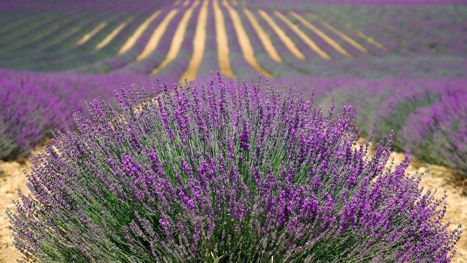 a lavender bush