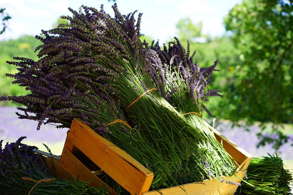 Una strada della lavanda attraverso i luoghi dove si coltiva - A road of lavender through the places where it is grown