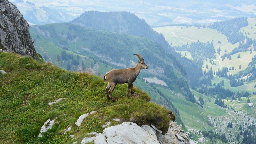 Stambecco - ibex