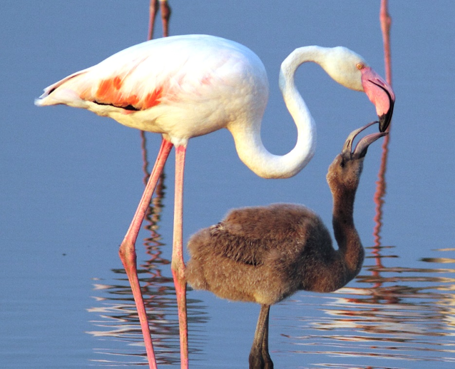 La riserva saline di Priolo è stata scelta da 800 coppie di fenicotteri per la nidificazione / Saline di Priolo reserve  was chosen by 800 pairs of flamingos for nesting