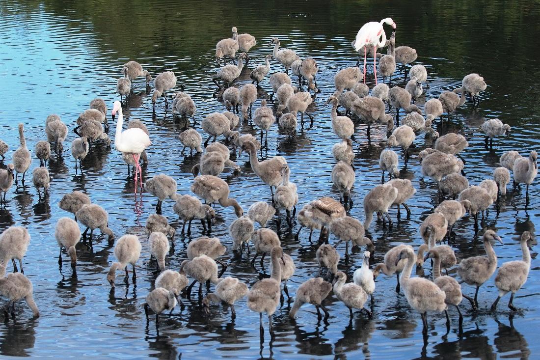 I fenicotteri appena nati alla riserva Saline di Priolo