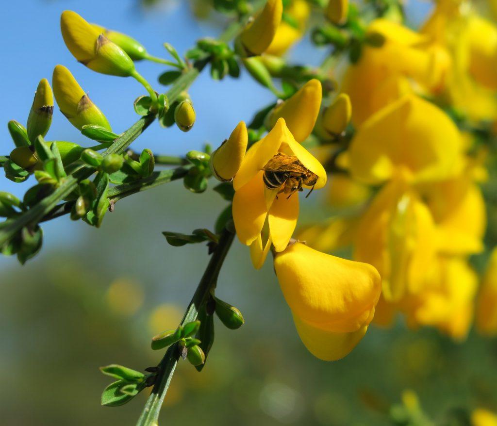 ramo di ginestra con ape