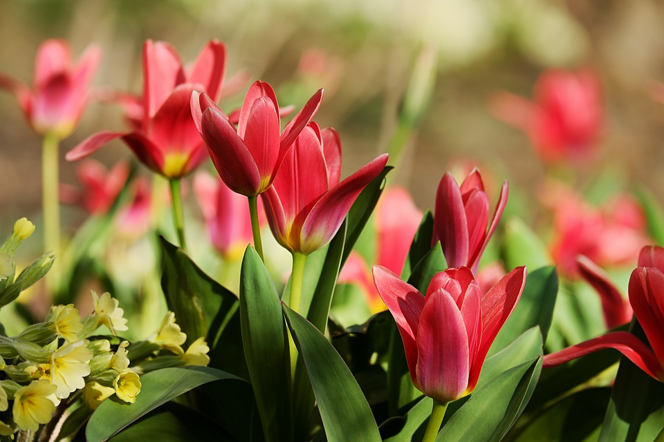 tulipani rossi . red tulips