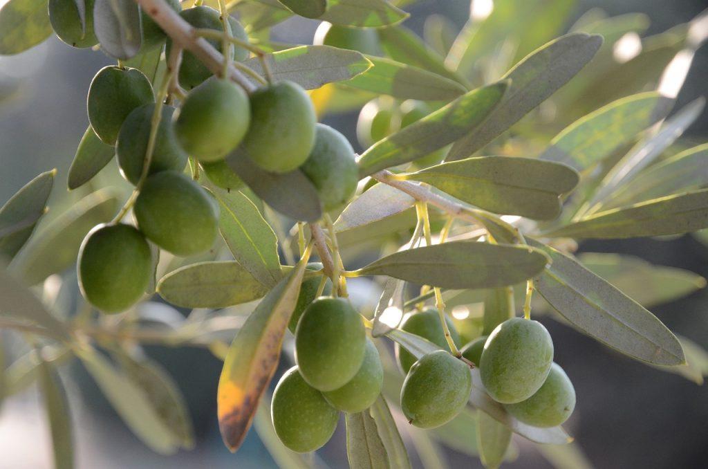 un ramoscello con olive verdi